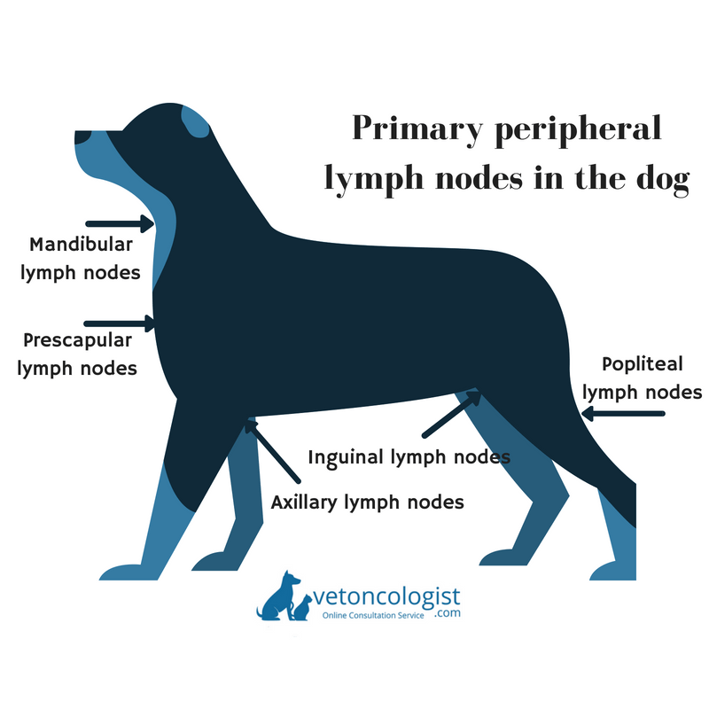 Image showing the location of peripheral lymph nodes in the dog. One or more may be enlarged in dogs with lymphoma.